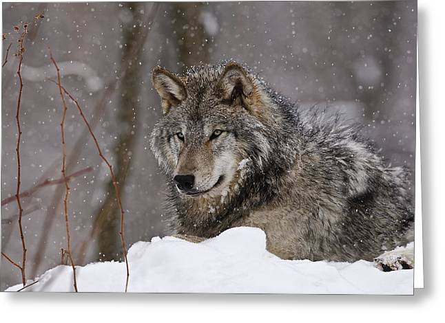 Animals Greeting Cards - Timber Wolf in Winter Greeting Card by Michael Cummings