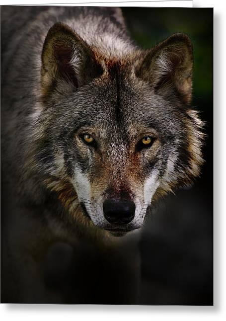 Animal Photography Greeting Cards - Timber Wolf Portrait Greeting Card by Michael Cummings