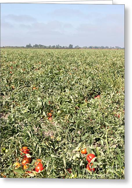 California Agriculture Greeting Cards - Tomato Field, California Greeting Card by Inga Spence