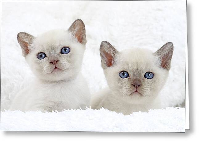 Tonkinese Cat Greeting Cards - Tonkinese Kittens Greeting Card by Jean-Michel Labat