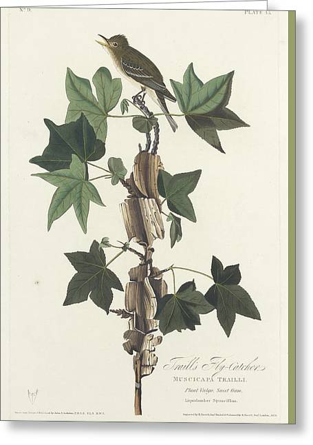 Flycatcher Greeting Cards - Traills Flycatcher Greeting Card by John James Audubon