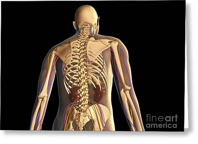Lumbar Plexus Greeting Cards - Transparent View Of Human Body Showing Greeting Card by Stocktrek Images