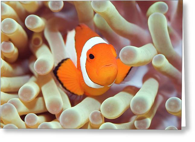 Scuba Diving Photographs Greeting Cards - Tropical fish Clownfish Greeting Card by MotHaiBaPhoto Prints