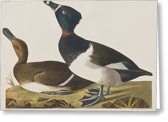 Border Drawings Greeting Cards - Tufted Duck Greeting Card by John James Audubon