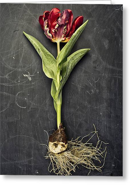 Stones Photographs Greeting Cards - Tulip Greeting Card by Nailia Schwarz