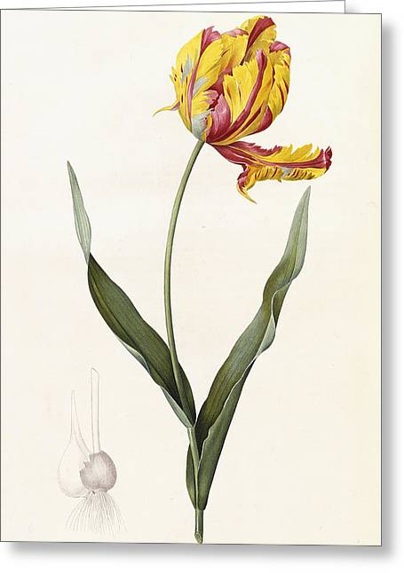 Seeds Drawings Greeting Cards - Tulip Greeting Card by Pierre Joseph Redoute
