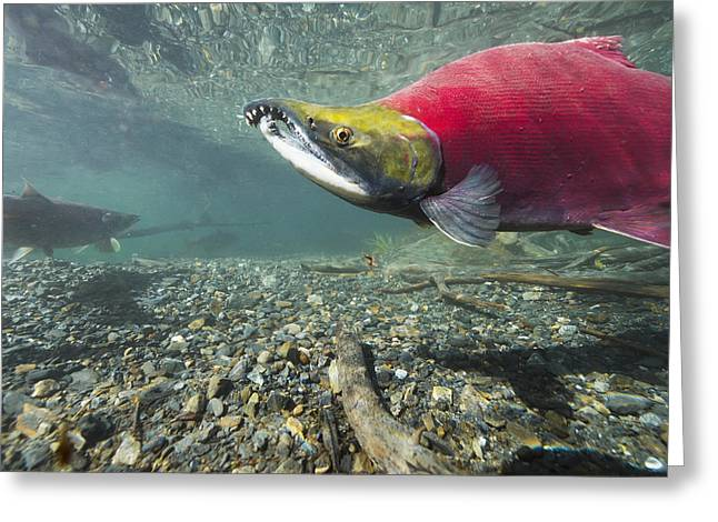 Southcentral Alaska Greeting Cards - Underwater View Of A Male Sockeye Greeting Card by Roland Hemmi