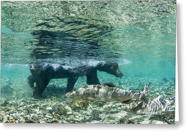 Gorbuscha Greeting Cards - Underwater View Of Coastal Brown Bear Greeting Card by Paul Souders