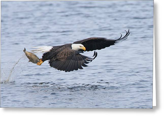 Eagle In Flight Greeting Cards - Up Up and Away Greeting Card by Gerry Sibell