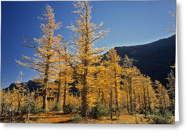 Out-of-door Greeting Cards - Upper Rowe Lake And Larch Trees Greeting Card by Darwin Wiggett