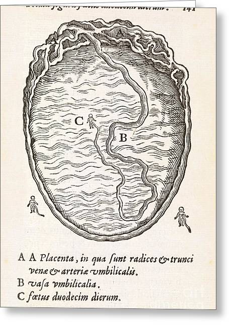 Label Greeting Cards - Uterus And Embryo, 16th Century Greeting Card by Middle Temple Library