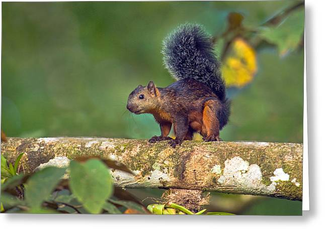 Variegated Squirrel Sciurus Greeting Card by Panoramic Images