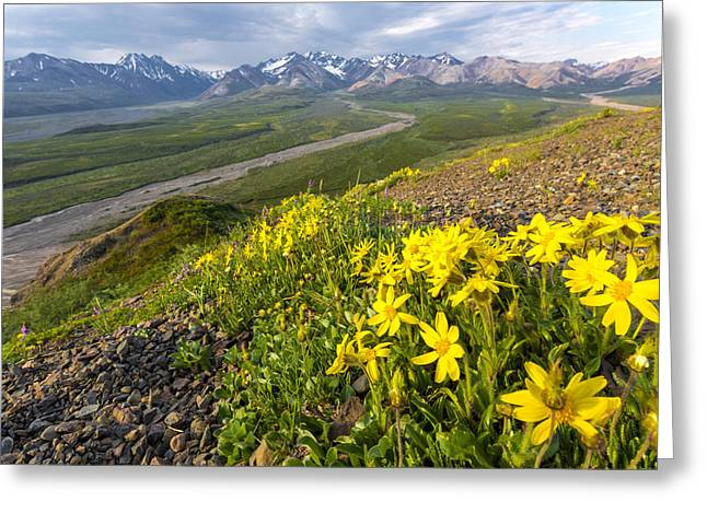 Interior Scene Greeting Cards - View Of Yellow Alpine Arnica On A Steep Greeting Card by Lynn Wegener