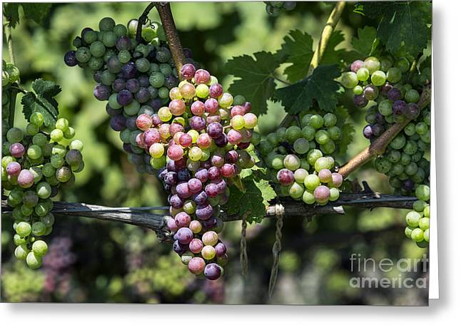 Grape Vineyard Greeting Cards - Vineyard Greeting Card by John Greim