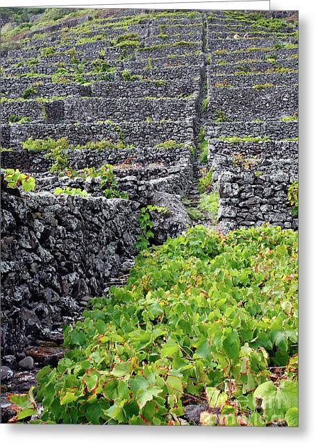 Grapevines Greeting Cards - Vineyards in Azores islands Greeting Card by Gaspar Avila