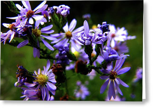Asters Greeting Cards - Violet Wild Aster Greeting Card by Scott Hovind