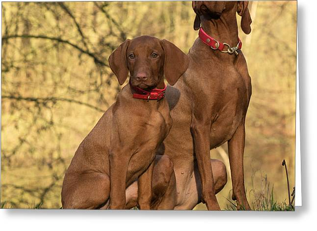 Vizsla Dogs Greeting Card by Mountain Dreams