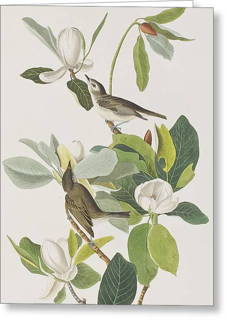 Green Leafs Drawings Greeting Cards - Warbling Flycatcher Greeting Card by John James Audubon
