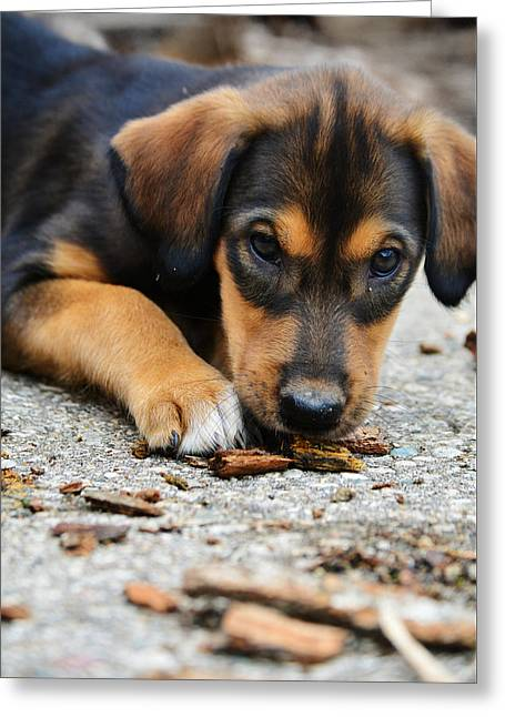 Puppies Photographs Greeting Cards - Watching Greeting Card by Kaitlynn Tidwell