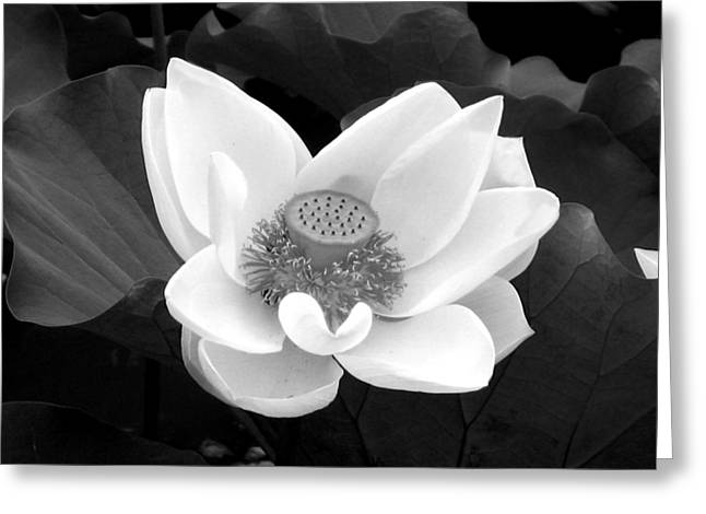 Julian Bralley Greeting Cards - Water Lilly Greeting Card by Julian Bralley