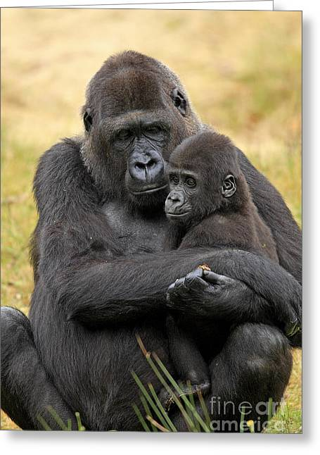 Western Gorilla And Young Greeting Card by Jurgen & Christine Sohns/FLPA
