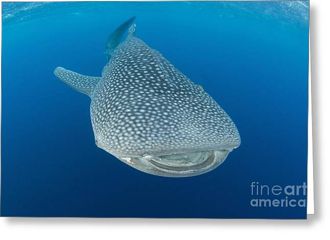 Undersea Photography Greeting Cards - Whale Shark Descending To The Depths Greeting Card by Mathieu Meur
