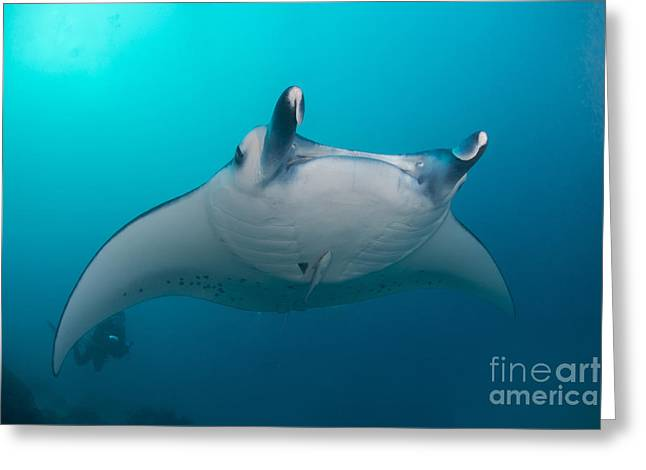 Ray Fish Greeting Cards - White-bellied Giant Oceanic Manta Ray Greeting Card by Mathieu Meur