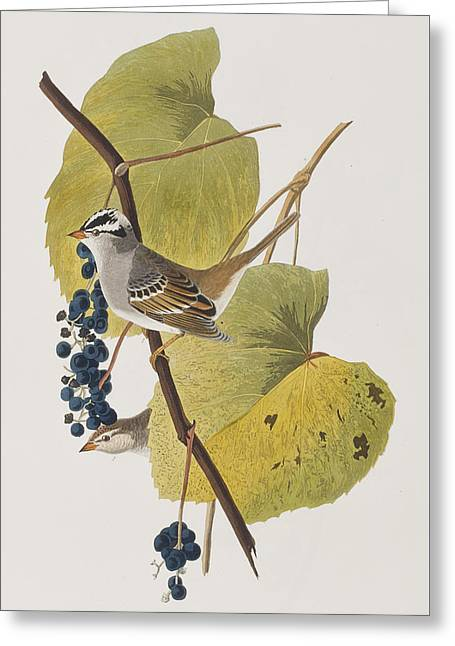 White-crowned Sparrow Greeting Card by John James Audubon