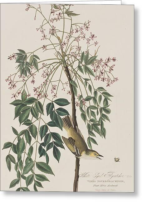 Flycatcher Greeting Cards - White-eyed Flycatcher Greeting Card by John James Audubon