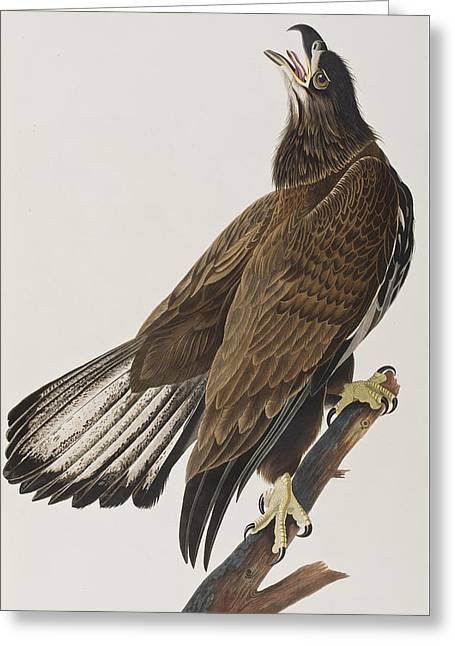 Eagle Greeting Cards - White-headed Eagle Greeting Card by John James Audubon