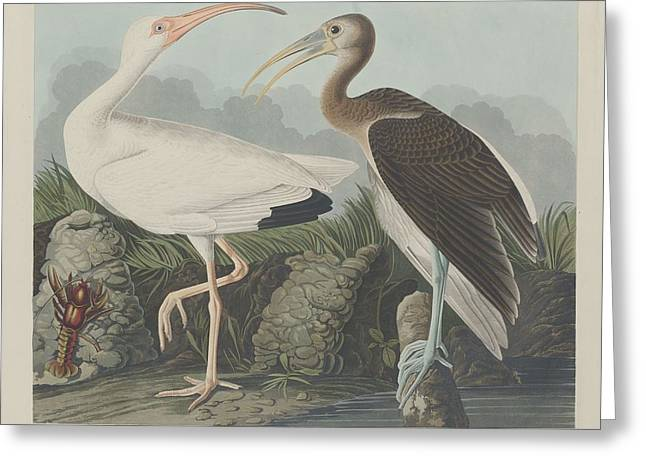 Shorebird Greeting Cards - White Ibis Greeting Card by John James Audubon