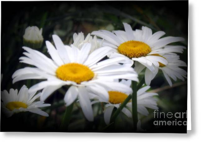 Greeting Cards - White Shasta Daisies Greeting Card by Kay Novy