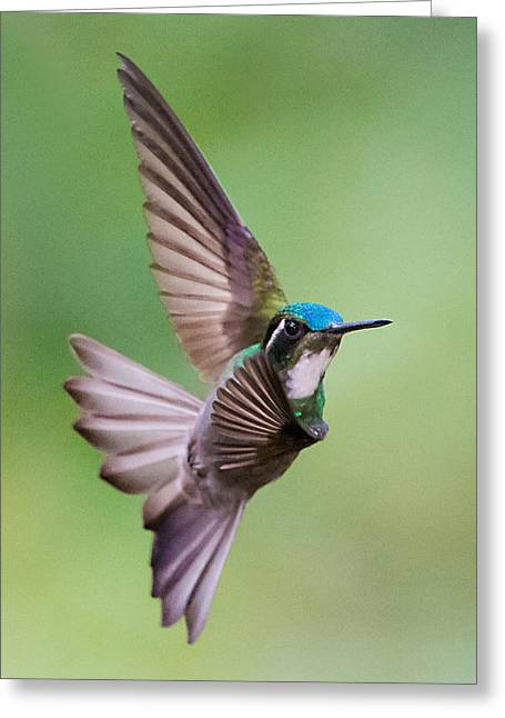 White-throated Mountaingem Lampornis Greeting Card by Panoramic Images