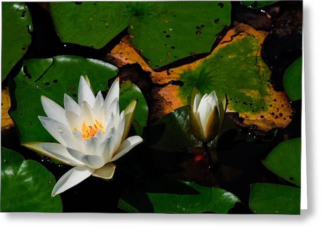 New Jersey Pine Barrens Greeting Cards - White Water Lilies Greeting Card by Louis Dallara