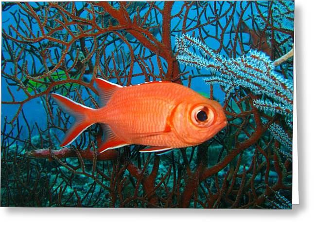 Vittata Greeting Cards - Whitetip Soldierfish Greeting Card by Colin Knight