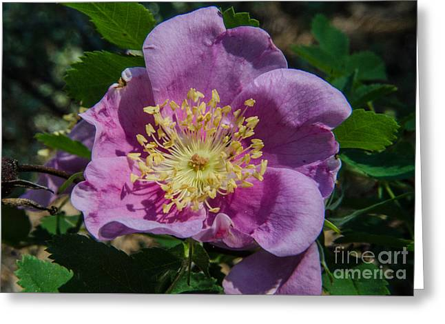 Rosa Acicularis Greeting Cards - Wild Rose Bloom Greeting Card by Rex Wholster
