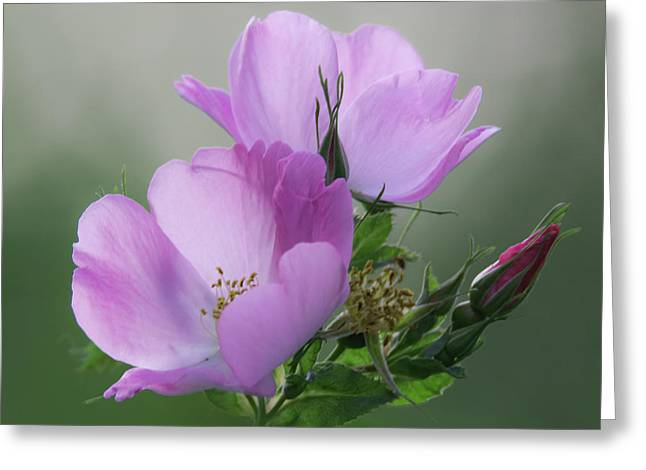 Rose Petals Greeting Cards - Wild Roses Greeting Card by Angie Vogel