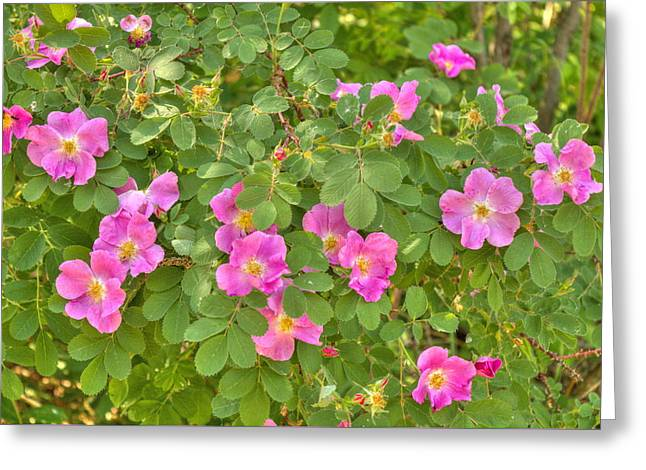 Rosa Acicularis Greeting Cards - Wild Roses Greeting Card by Jim Sauchyn