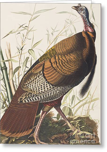 Turkey Greeting Cards - Wild Turkey Greeting Card by John James Audubon