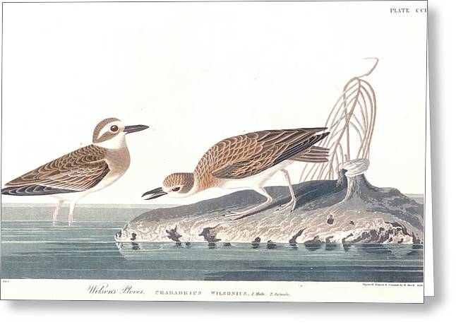 Wilson Greeting Cards - Wilsons Plover Greeting Card by John James Audubon