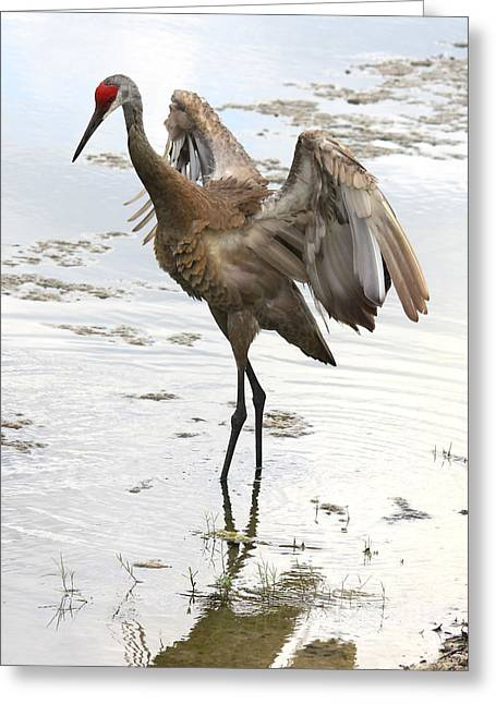 Sandhill Crane Greeting Cards - Winging It Greeting Card by Carol Groenen