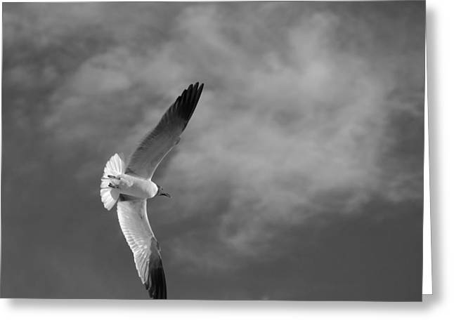Gull Seagull Greeting Cards - Wings Greeting Card by Don Spenner