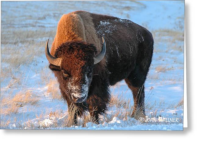 Grazing Snow Greeting Cards - Winter Bison Greeting Card by Joan Wallner