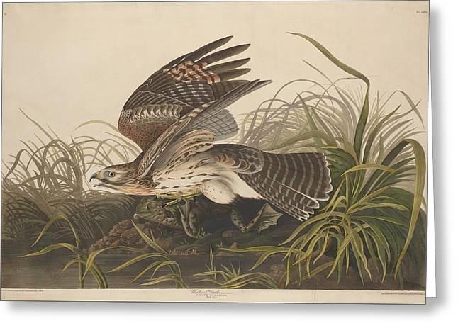 Hawk Drawings Greeting Cards - Winter Hawk Greeting Card by John James Audubon