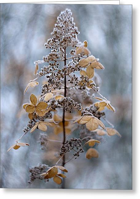 Hydrangea Greeting Cards - Winter Lace Greeting Card by Jacky Parker