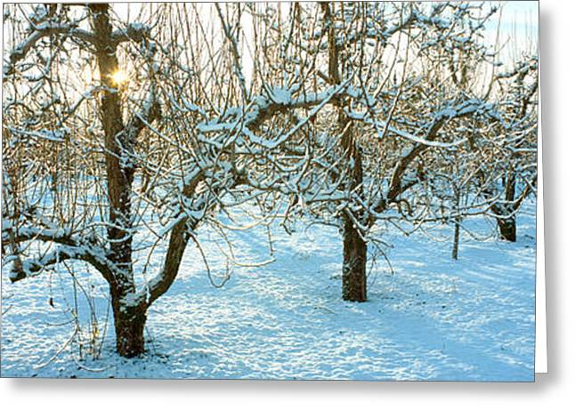 Hood River Oregon Greeting Cards - Winter Morning In The Pear Orchard Greeting Card by Panoramic Images