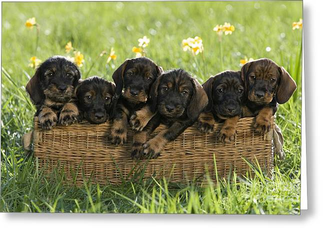 Litter Mates Greeting Cards - Wire-haired Dachshund Puppies Greeting Card by Jean-Louis Klein & Marie-Luce Hubert