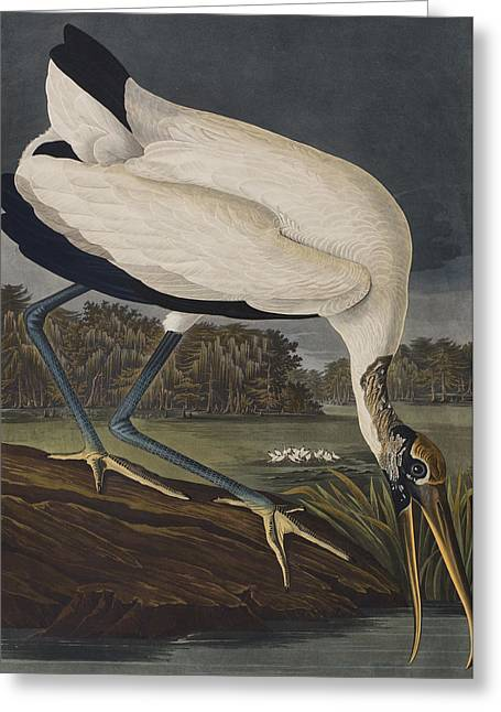 On The Edge Greeting Cards - Wood Ibis Greeting Card by John James Audubon