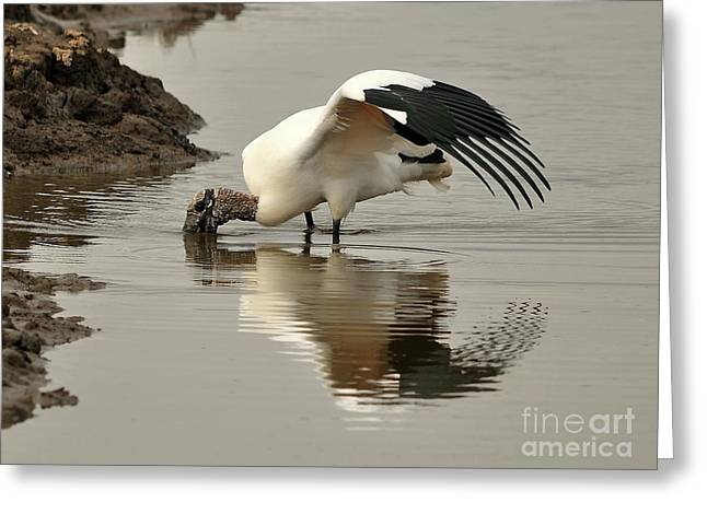 Al Powell Photography Usa Greeting Cards - Wood Stork Winging It Greeting Card by Al Powell Photography USA
