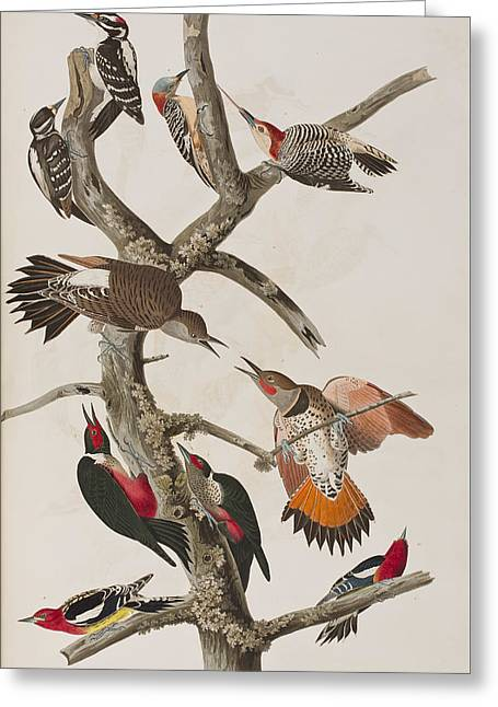 Woodpecker Greeting Cards - Woodpeckers Greeting Card by John James Audubon